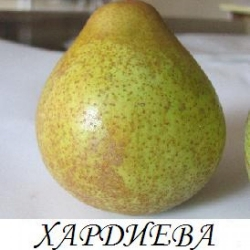 Круша Сорт Хардиева Масловка