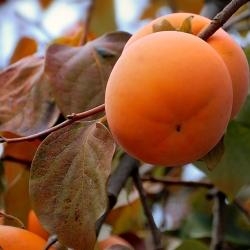 Райска Ябълка (Malus diospyros)