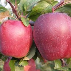 Ябълка Сорт Глостер