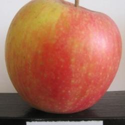 Ябълка Сорт Пинова