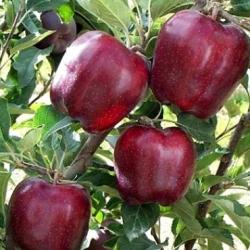 Ябълка Сорт Ред Чиф