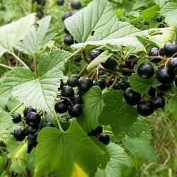 Касис (Ribes nigrum)