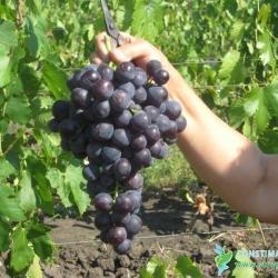 Черна перла, червен десертен сорт грозде