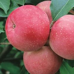 Ябълка Сорт Фуджи